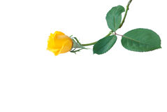 Flowers for Valentine's day.Yellow rose. Royalty Free Stock Image