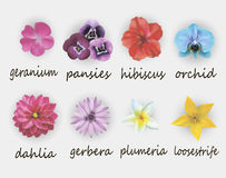 FLOWERS. Vector illustration of floral set, including gerbera, geranium, hibiscus, orchid, dahlia, plumeria and loosestrife Stock Images