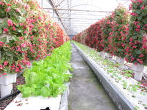 Flowers and vegetables in Greenhouses stock photography