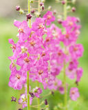 Flowers Verbascum Royalty Free Stock Images