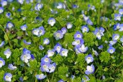 Flowers of Veronica persica