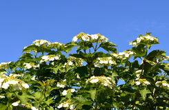 Flowers viburnum on blue sky Royalty Free Stock Photos
