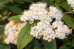 Flowers of Viburnum lantana. Wayfarer, Wayfaring Tree royalty free stock photography