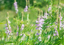 Flowers Vicia cracca Royalty Free Stock Photography