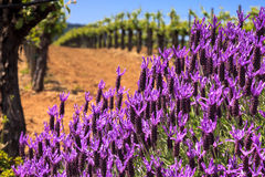 Flowers and Vineyards. Beautiful vineyards in Dry Creek Valley in Sonoma, California. Shallow depth of field image Stock Photography