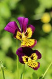 Flowers viola in the garden Royalty Free Stock Image