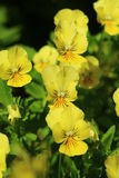 Flowers viola in a Sunny summer garden Stock Image