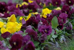 The flowers Viola Tricolor, lilac and yellows with a green leafs. Stock Photo