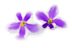 Flowers of violet Stock Images
