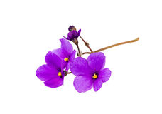 Flowers of violet Royalty Free Stock Photos