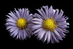 Flowers of violet daisies on black isolated background. Two chamomiles for design. View from above. Close-up. Nature Royalty Free Stock Photography