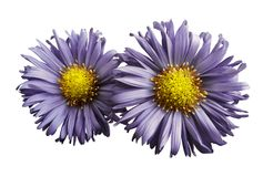 Flowers of violet daisies on white isolated background. Two chamomiles for design. View from above. Close-up. Nature Stock Photos
