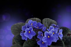 Flowers of violet, design Stock Photography