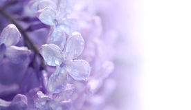 Flowers violet lilac in water droplets. Closeup image, selective focus, space for text Royalty Free Stock Photography