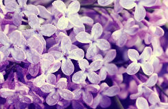 Flowers violet lilac in water droplets. Closeup, macro image, selective focus Stock Photography