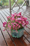 Flowers. Violet flowers on the pot Stock Photos