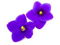 Flowers violet Saintpaulia Royalty Free Stock Photography