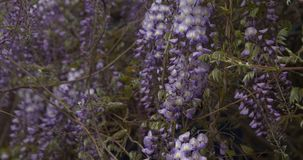 Flowers of violet wisteria. Close up flying around camera stock footage