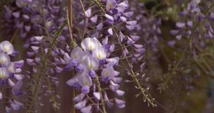 Flowers of violet wisteria. Close up flying around camera stock video footage