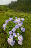 Flowers on the volcano. In azores, Fayal, portugal Stock Photos
