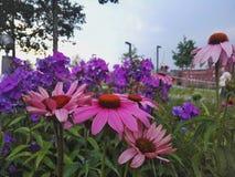 Flowers vs Purple Royalty Free Stock Photo