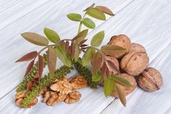 Flowers walnut, young leaves and fruit Stock Images
