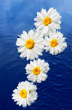 Flowers and Water. White daisy on the surface of pure water Stock Photo