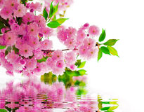 Flowers, water. Branch with flowers above the water stock photography