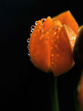 Flowers with water drops. Under light Royalty Free Stock Image