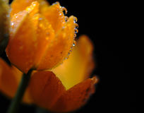 Flowers with water drops. Under light Stock Photography