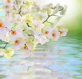 Flowers water Japanese Orchid. Royalty Free Stock Photos