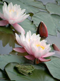 Flowers of water lilies. Stock Photo