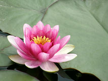 Flowers of water lilies. Stock Photos