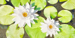 Flowers of a water lily with leaves against the background of a pure reservoir. Royalty Free Stock Photos