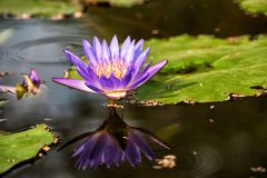 Flowers of water lily or lotus. Purple water lily or lotus flower on the surface of the water with relecton on the pond with nature background and copy space for Stock Image
