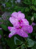 Accumulated Beauty. Flowers water rain droplets pink Royalty Free Stock Images