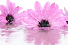 Flowers in water during rain. Stock Photos