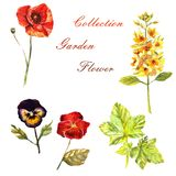 Flowers watercolor illustration. Set of garden flowers on a white background royalty free illustration