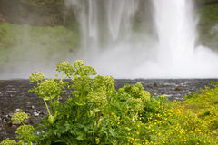 Flowers with waterfall. Seljalandsfoss. One of Icelands large waterfalls Royalty Free Stock Image