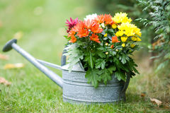 Flowers in a watering can Stock Photography