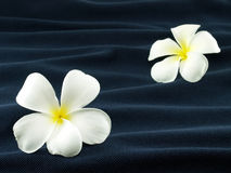 Two white frangipani or plumeria flowers on wave of dark blue fabric. Like flower that fall into the water Royalty Free Stock Photography
