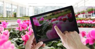Flowers web store concept, online shopping on digital pad with hands pointing and touch screen with spring cyclamen flowers. Flowers web store concept, online stock photos