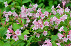 Flowers of Weigela hortensis or Kolkwitzia amabilis. In a garden stock images