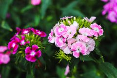 Colorful flowers in Quang Ninh, Vietnam. stock image
