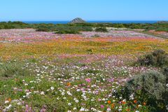 Flowers at the west coast national park. South africa stock images