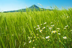 Flowers in wheat field and hill Royalty Free Stock Image