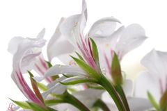 Flowers on white Royalty Free Stock Images