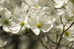 flowers white Στοκ Φωτογραφίες