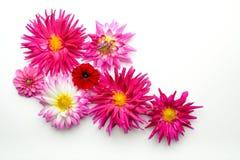 Flowers on white backdrop Royalty Free Stock Image