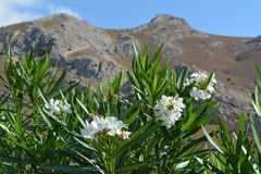 Flowers. White flowers on a background of mountains stock photo